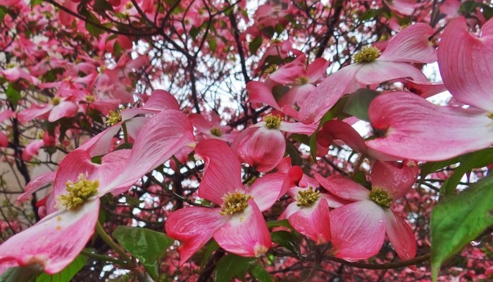 Spring Blooms in the Rain